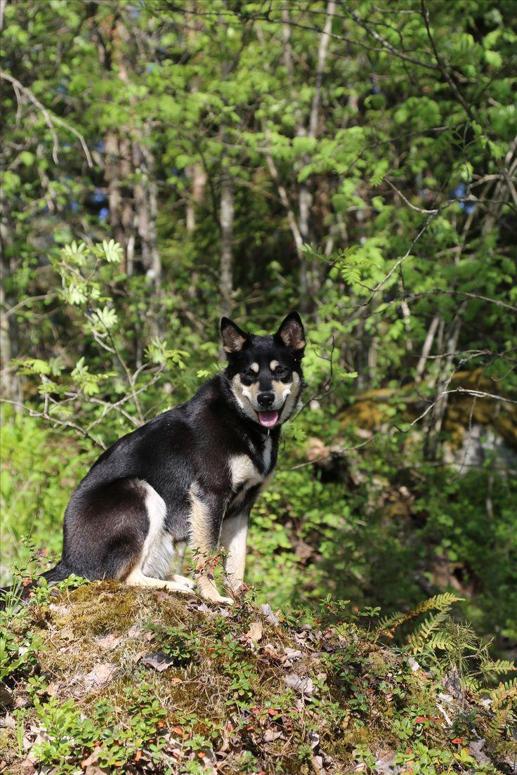 Dog, Lapponian herder  Seita is enjoying the view