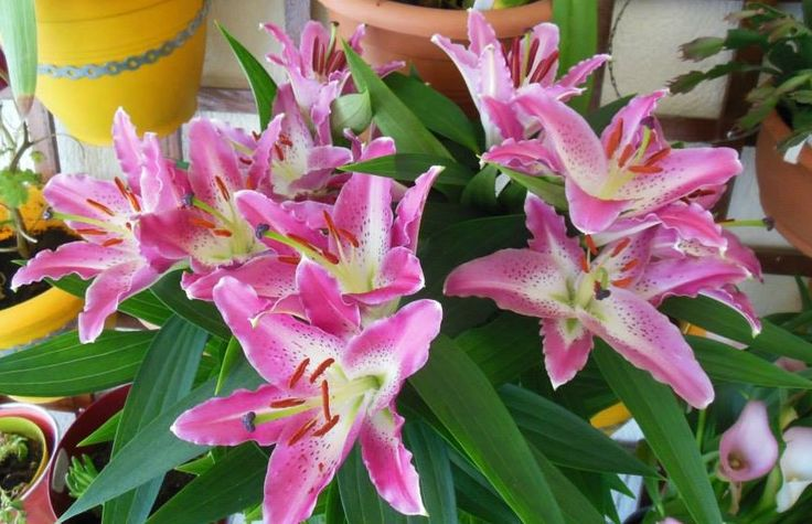 Lily Oriental