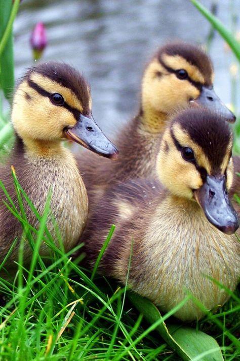 640-Duck-l