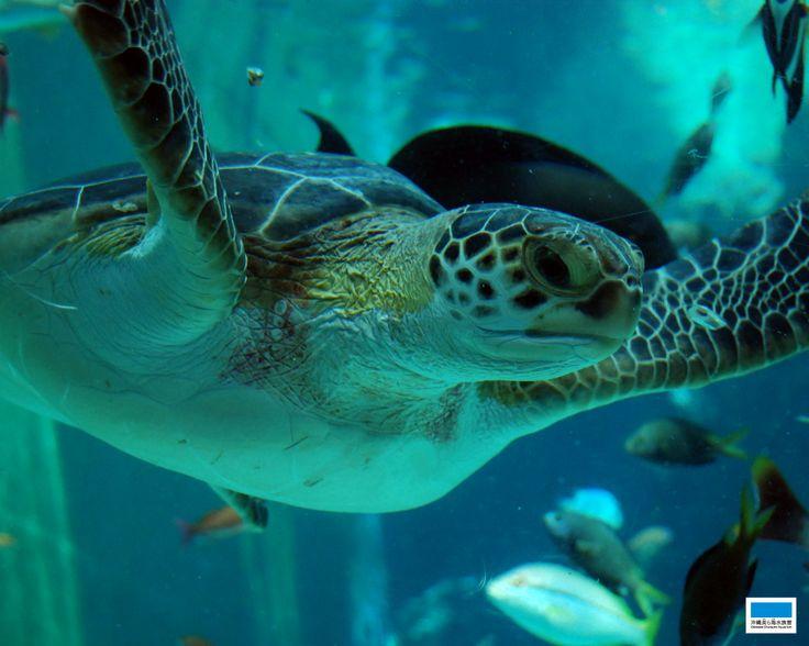 沖縄美ら海水族館 (Okinawa Churaumi Aquarium)
