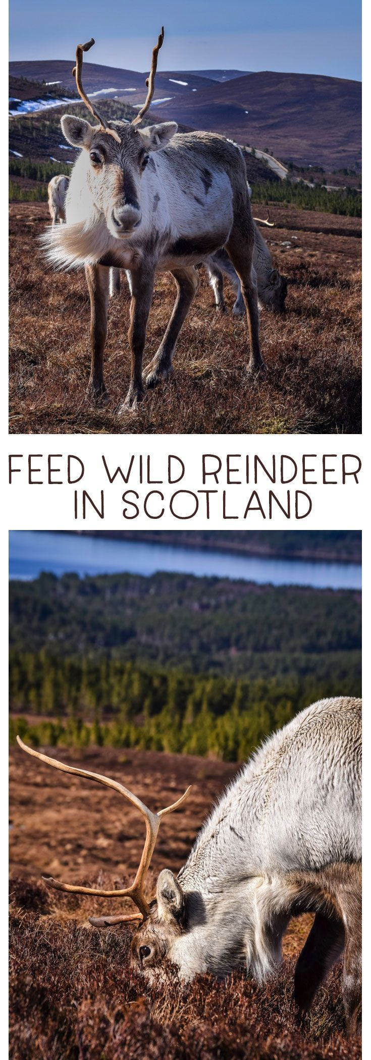 Feed reindeer in Scotland! Learn all about this amazing adventure at the Cairngorm Reindeer Centre in the Cairngorms National Park outside Aviemore. #Scotland #ThingstodoinScotland #Reindeer #WildEncounters #Cairngorms  via @MrsMajorHoff