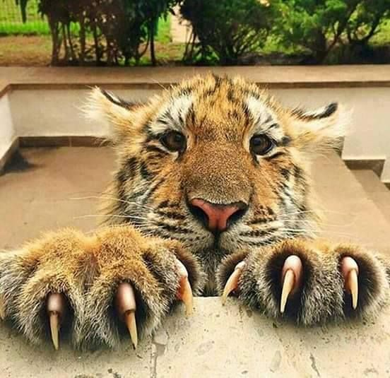 Tiger Claws are up to 5 inches in length. Forefeet have