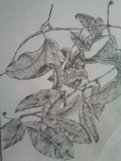Passionfruit vineLeaves