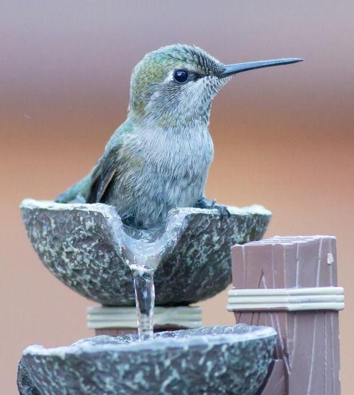Anna's Hummingbird taking a Bird Bath