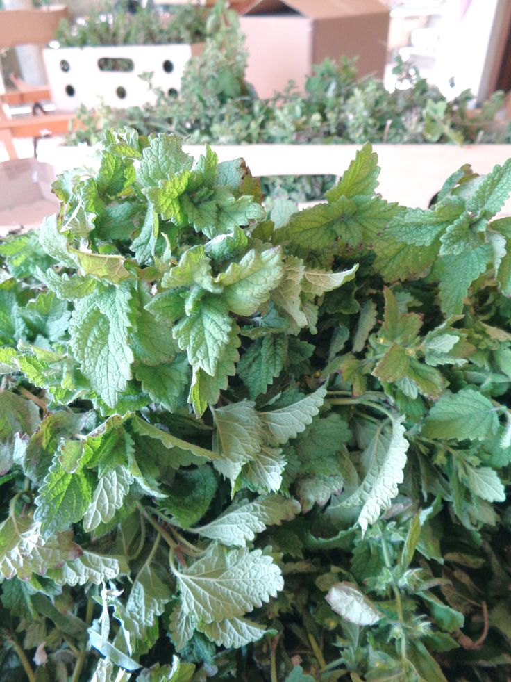 Melissa, also known as lemon balm, smells like lemon blossoms in a cup!