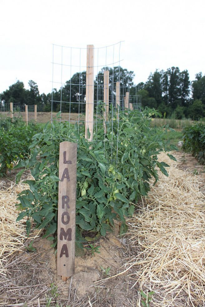"$2 Tomato ""cage"" - You may chuckle at the name - but ""Stake-A-Cage"" really is the best wa… :: Hometalk"