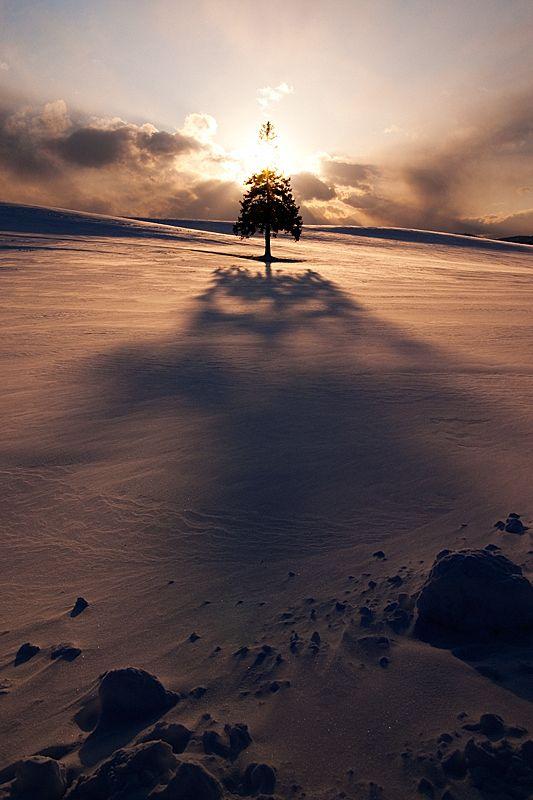 """""""Christmas tree"""", Biei, Hokkaido, Japan"""