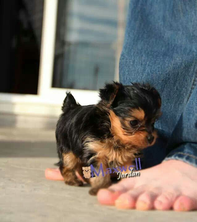 463 Best Images About Ccc Bentley On Pinterest: 400+ Best Images About YORKIE LOVE On Pinterest