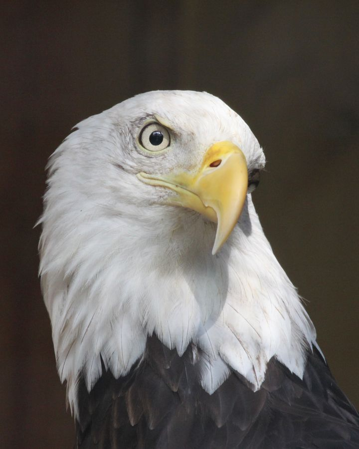 A few years ago, one flew over us for miles while boating on Lake Oconee, Georgia.     Bald Eagle Portrait by Michael Bowen, via 500px