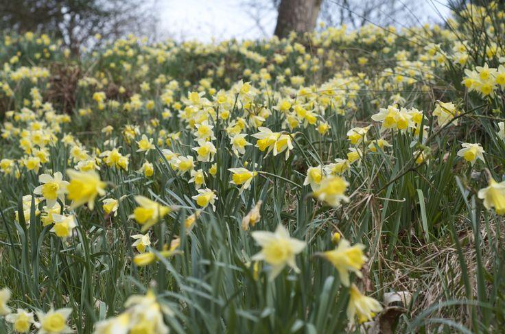 Daffodils in Dora's Field