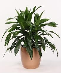 ffb148b905daa38b15663f2d0bf34477 Palm Tree Rubber Plant House Identification on bamboo house plant identification, ivy house plant identification, tropical house plant identification,