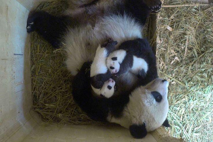 Wien, Österreich_Vienna,AUSTRIA _Schönbrunn - Zoo  Ein Riesenpanda kuschelt mit ihren Zwillingsjungen im Zoo Schönbrunn.