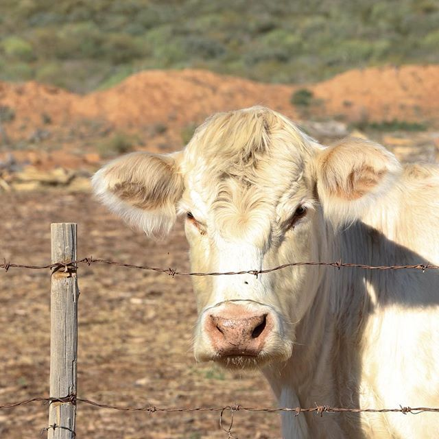 Guardian of the Grazers.   #viewfromtheroad #barloworldtransport #meetsouthafrica #southafrica #roadlovers #openroad #ontheroad #beautifuldestinations #roadshots  #fromwhereisit #thisissouthafrica #southafricaletsme #shotleft #wanderlust #exploremore #southafricathroughmyeyes (scheduled via http://www.tailwindapp.com?utm_source=pinterest&utm_medium=twpin&utm_content=post111527455&utm_campaign=scheduler_attribution)