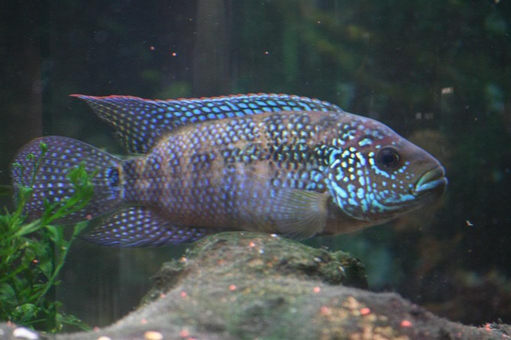 17 best images about new world cichlids on pinterest for Jack dempsy fish