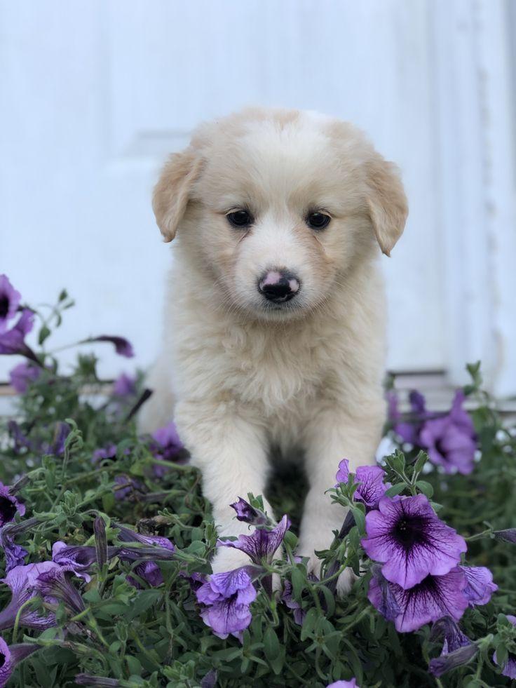 Puppies for sale australian shepherd mix