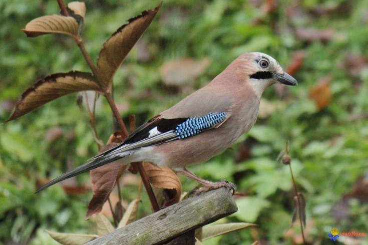 Photo : oiseau:geai des chênes