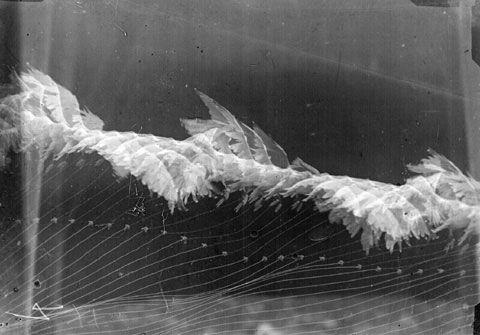 Étienne-Jules Marey (1830–1904), Chronophotograph of a bird in flight.