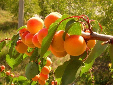 Абрикос любит компанию. Как получить урожай этой южной культуры и в Подмосковье  Абрикос до сих пор считается экзотической культурой в зоне умеренного климата. Однако, выбрав подходящий сорт и посадив растение в правильном месте, вполне реально получить урожай этой южной культуры…
