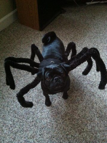 Heidi S, a member of our facebook dog group created this halloween costume for her pug.  Brilliant!!