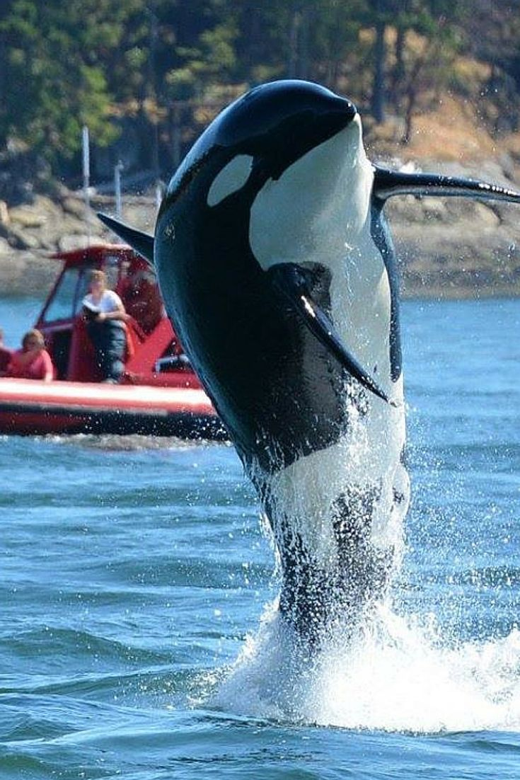 """You are looking at a recent photo of the world's oldest known orca, 104-year-old """"Granny."""" Granny is a gorgeous example of just how long orca whales can live in the wild when they are not confined and deprived in captivity. This image was taken by Gary Sutton, a captain at Wild Whales Vancouver in BC, Canada. Follow him on Instagram for more wild orca photos: https://instagram.com/gary_j27?utm_content=buffer64291&utm_medium=social&utm_source=pinterest.com&utm_campaign=buffer"""