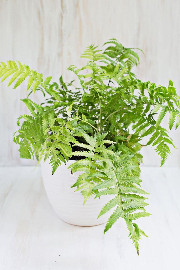 Best 25 boston ferns ideas on pinterest boston ferns for Large non toxic house plants