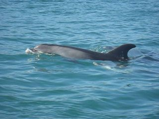 Setúbal, near Lisbon: watch Dolphins play...