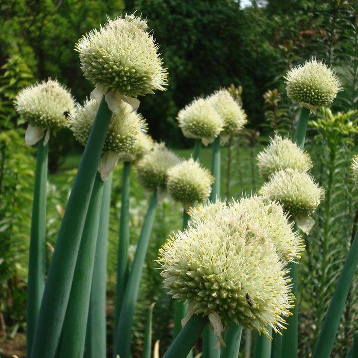 Ciboule, cive (Allium fistulosum) exposition mi-ombre à soleil
