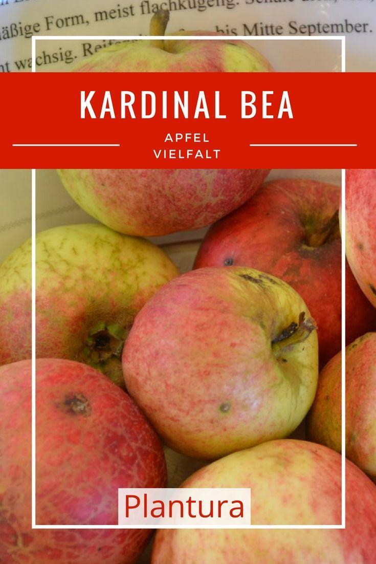 Apfelsorte Kardinal Bea: Die Äpfel eignen sich aufgrund ihres süßfruchtigen bis feinsäuerlichen Geschmacks sehr gut als Tafel-, Most- und Kuchenapfel.