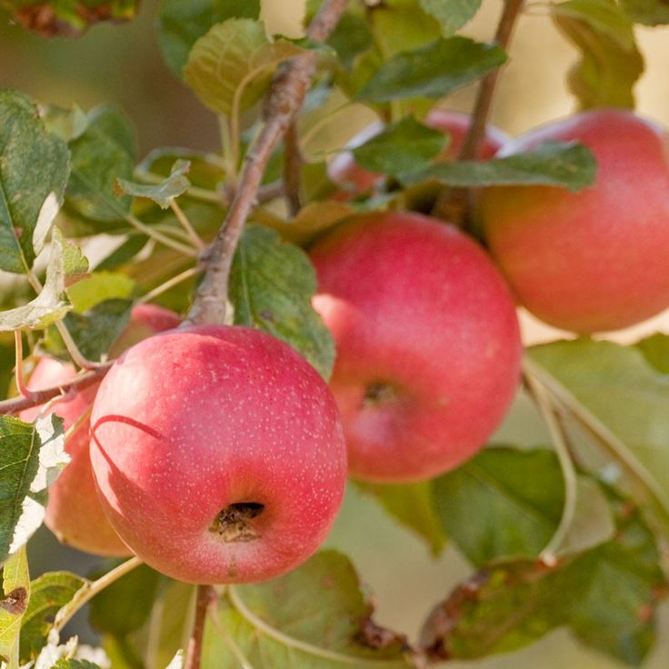 17 best images about apples on pinterest trees preserve and container gardening. Black Bedroom Furniture Sets. Home Design Ideas