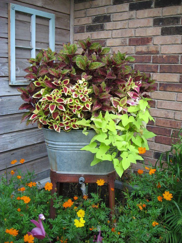 What a great match!  Old washtub and Coleus.: Ideas, Container Garden, Potato Vines, Flowers Pots, Wash Tubs, Sweet Potatoes Vines, Shades Plants, Planters,  Flowerpot