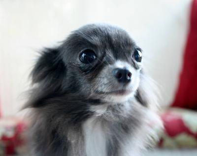 I've seen very few long hair Blue Chihuahuas!  Wow...  www.chiwawadogs.net