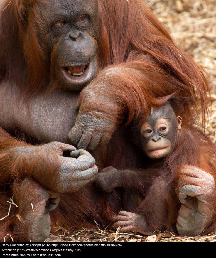 Uno de mis animales preferidos está en peligro de extinción. ¿Adivináis cuál es? En efecto, hay que salvar a los orangutanes. Cada vez són más los que mueren en manos del ser humano. ¡Lo vemos en mi blog Victor Madera Vet!  #Victor Madera #Victor Madera CVC, #Victor Madera Vet #animales
