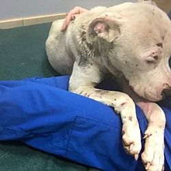NEW YORK, NY - MYLES is a Pit Bull Terrier for adoption who needs a loving home.