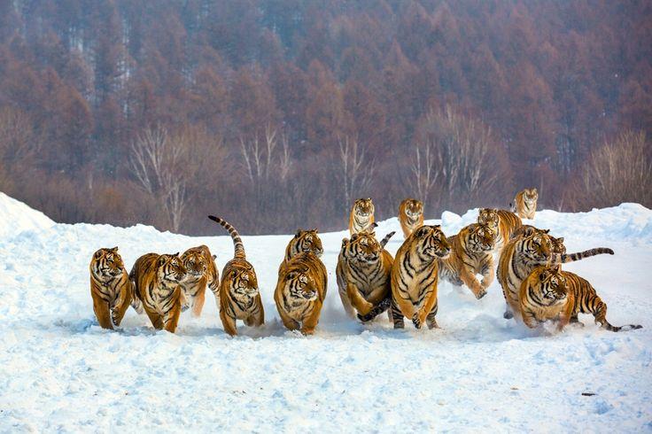 tiger wild snow - photo #33
