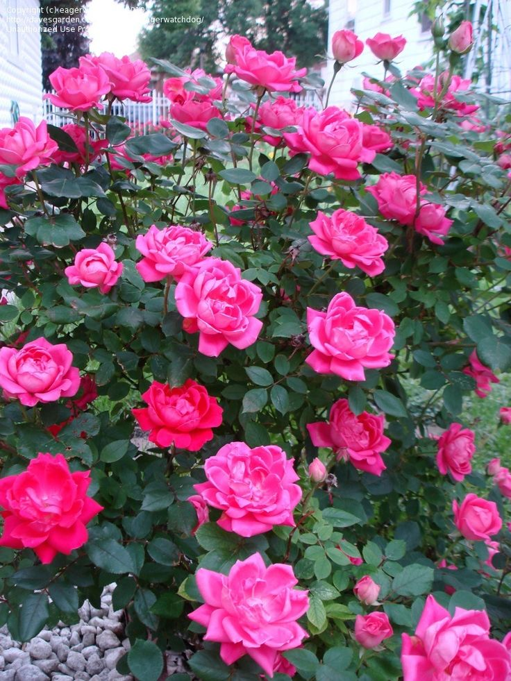Double Pink Knockout Rose Full Bush