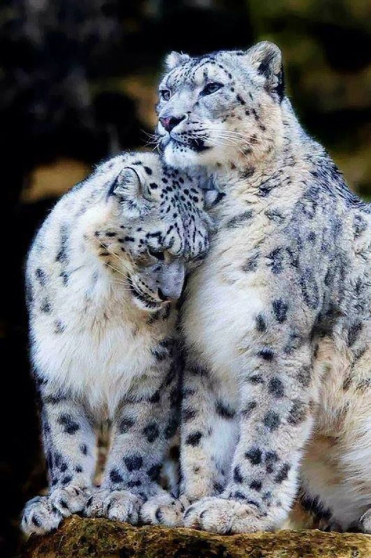 Snow Leopard cuddle, big cats, leopards !IEC