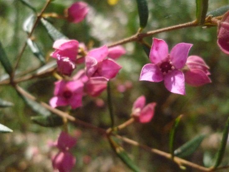 native wildflower.....Sydney