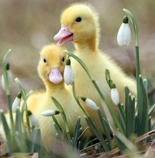 Fluffy ducklings...