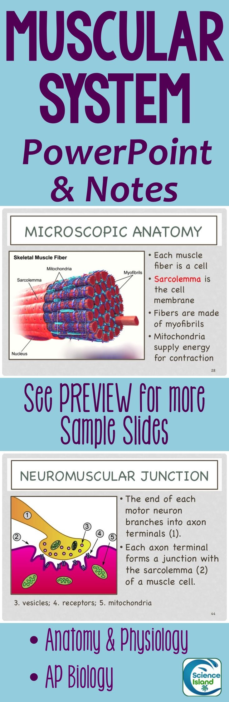 Beautiful, clear, and concise presentation on the Muscular System. Take a look at the PREVIEW for more details. Designed for Anatomy & Physiology or AP Biology.