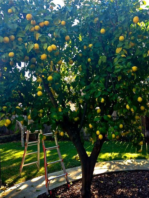 Lemon tree in the backyard - plant citrus trees along the southern or southeast side of the house, 6-8 feet away from the walls of your house, so the heat from your home will work to add warmth during those surprise cold snaps. Maintain the same distance from garages, driveways, walks and fences, as well as spacing citrus trees away from each other