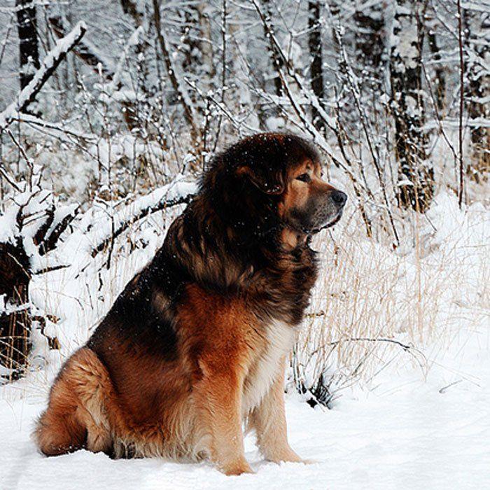 20. Tibetan Mastiff