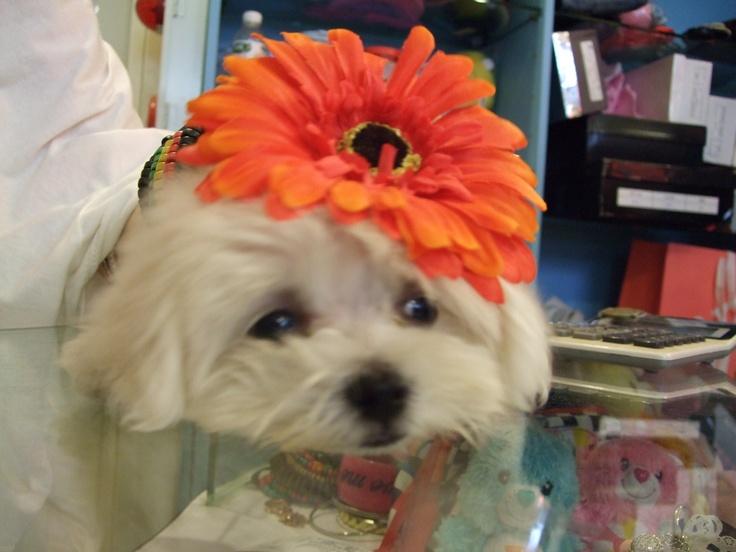 Dressing flower for my dog