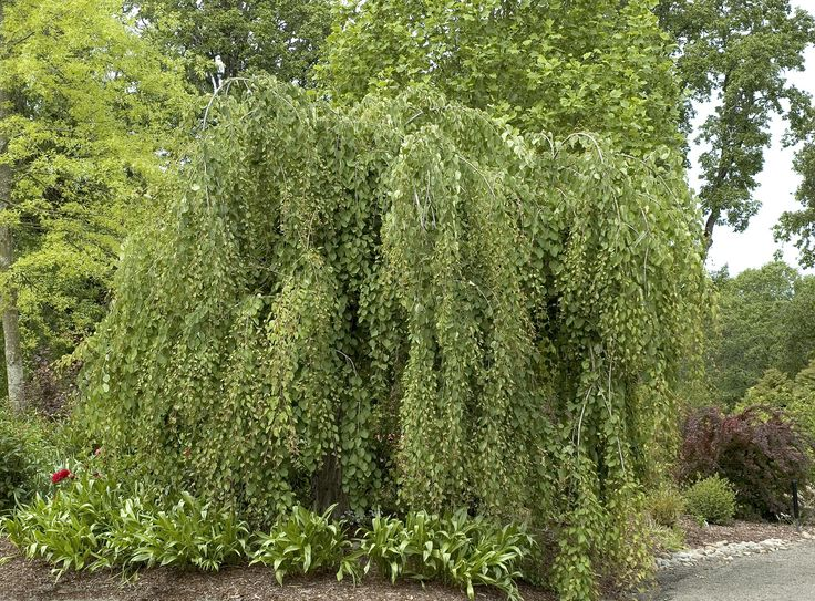 Weeping katsura (Cercidiphyllum), statement tree possibility