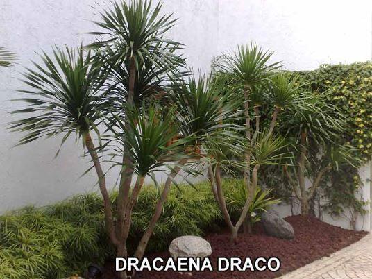 Dracaena Draco Not Good To Plant In Single Pinteres