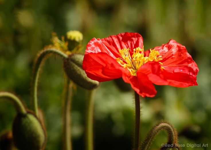 Poppy Flame. A bright red upright poppy. Photographed by #redrosedigitalart. From http://www.redrosedigitalart.com