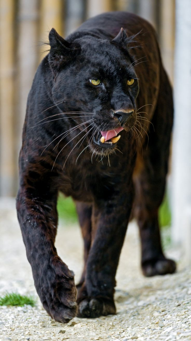 Blacky walking and showing his tongue | This makes us miss Orson. :/