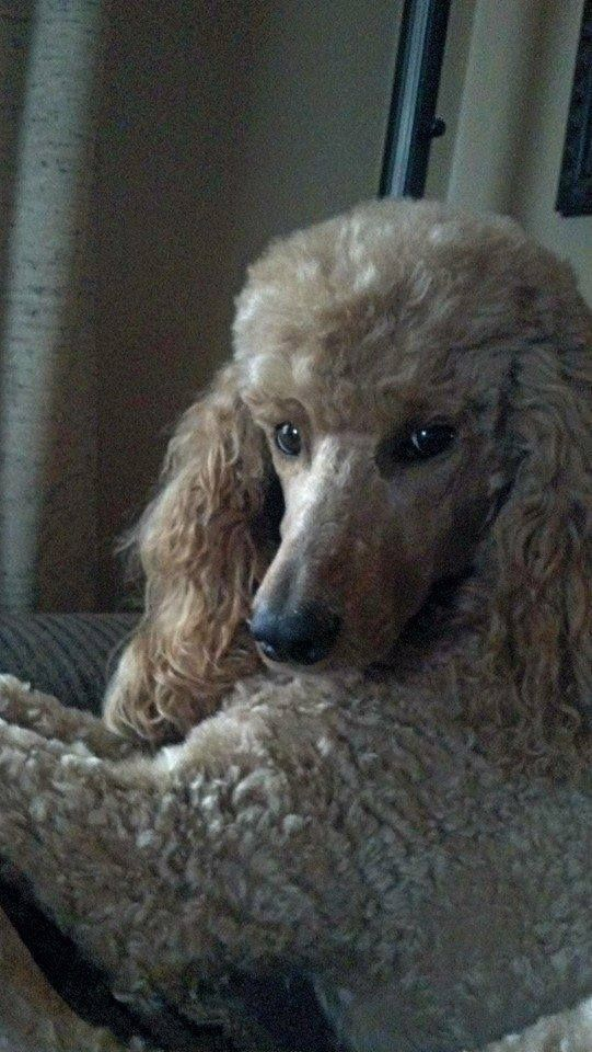 This is a beautiful poodle. I would love to have this baby.