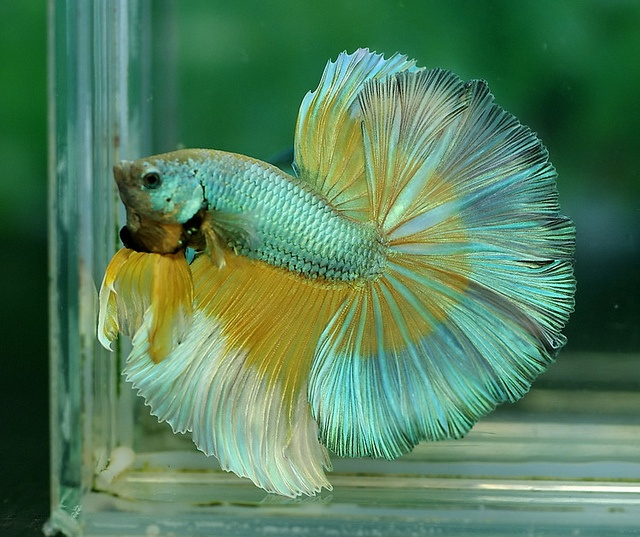 256 best all things betta fish images on pinterest betta for All about betta fish