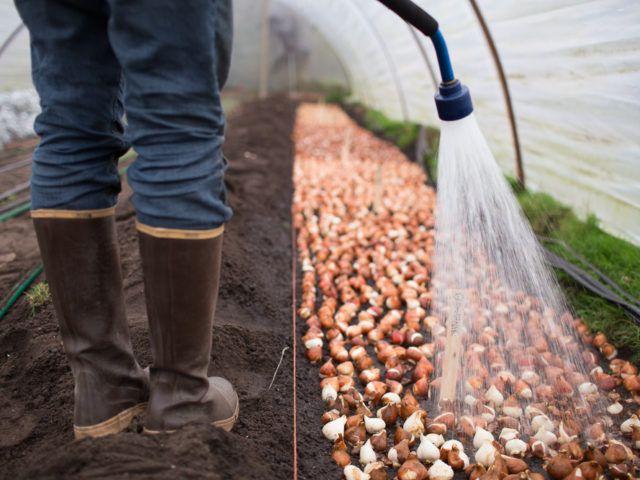 How to grow tulips - Floret Farm