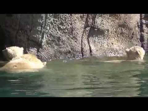 De ijsbeer tweeling gaan zwemmen met mama in Diergaarde Blijdorp - YouTube